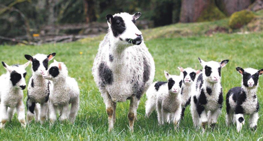 Ланшафтный дизайн с помощью овец